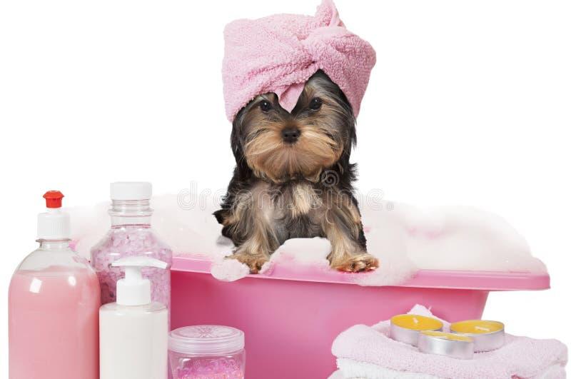 Σκυλί τεριέ του Γιορκσάιρ που παίρνει ένα λουτρό στοκ φωτογραφία
