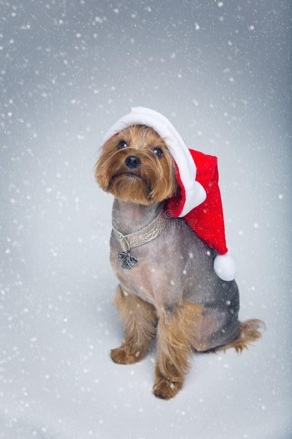 Σκυλί τεριέ του Γιορκσάιρ στα Χριστούγεννα ΚΑΠ στοκ εικόνα με δικαίωμα ελεύθερης χρήσης