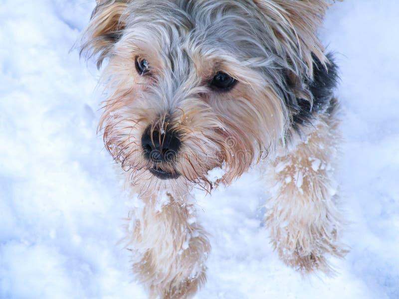 Σκυλί τεριέ του Γιορκσάιρ στοκ εικόνες με δικαίωμα ελεύθερης χρήσης