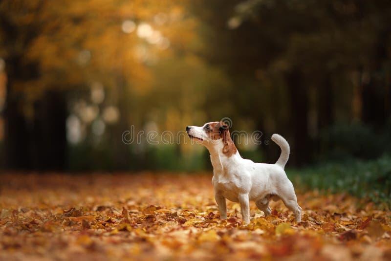 Σκυλί τεριέ του Jack Russell με τα φύλλα χρυσό και κόκκινο χρώμα, περίπατος στο πάρκο στοκ εικόνα