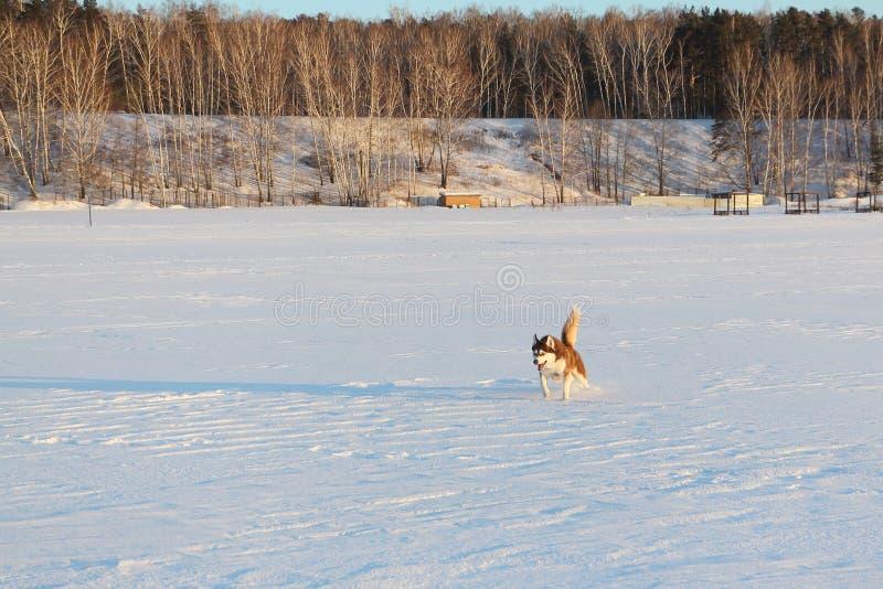 Σκυλί της φυλής το σιβηρικό γεροδεμένο τρέξιμο σε μια παραλία χιονιού στοκ εικόνα