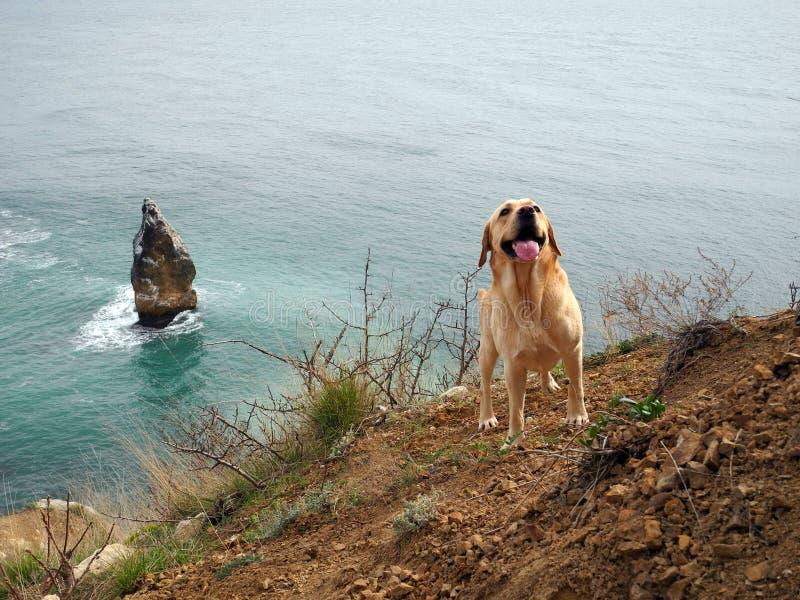 Σκυλί του Λαμπραντόρ στη θάλασσα στοκ εικόνες