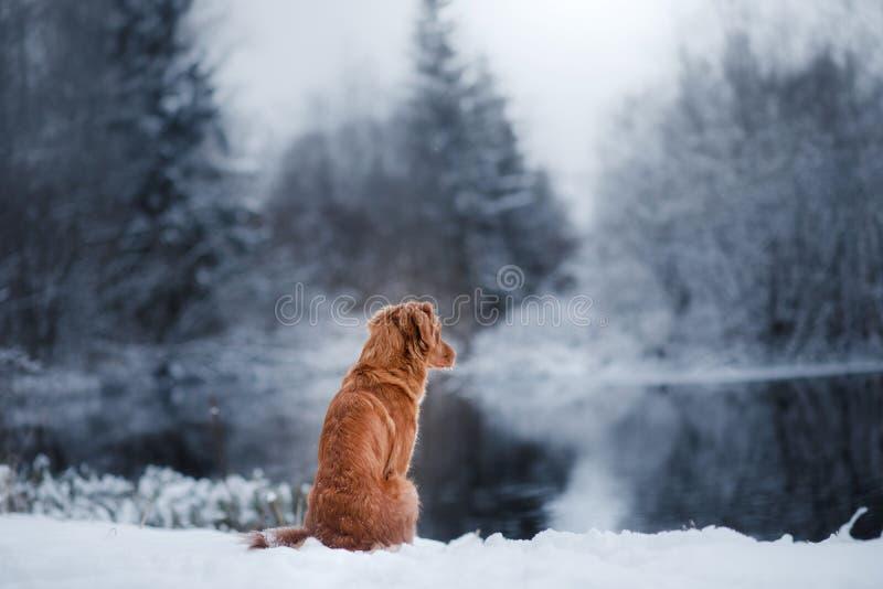 Σκυλί το χειμώνα υπαίθρια, Retriever διοδίων παπιών της Νέας Σκοτίας, στο δάσος στοκ εικόνες