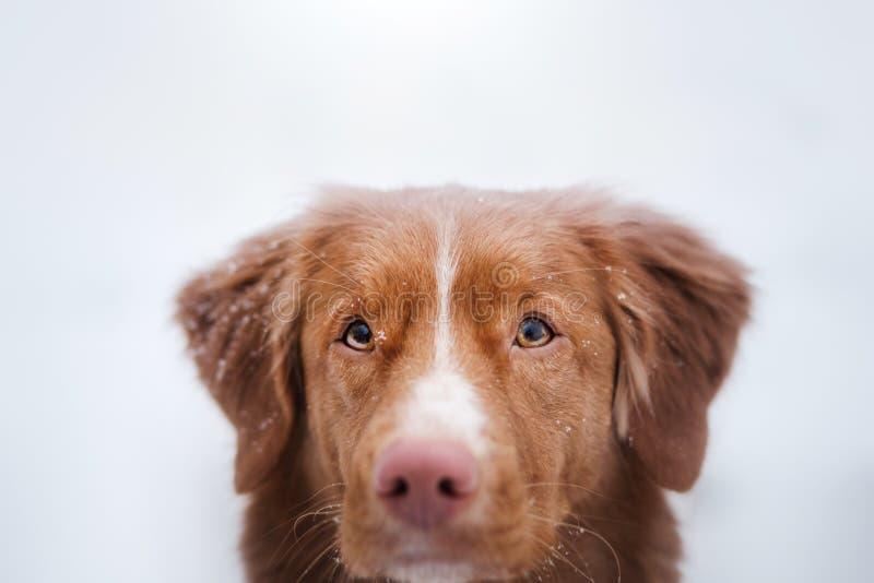 Σκυλί το χειμώνα υπαίθρια, Retriever διοδίων παπιών της Νέας Σκοτίας, στο δάσος στοκ φωτογραφία με δικαίωμα ελεύθερης χρήσης