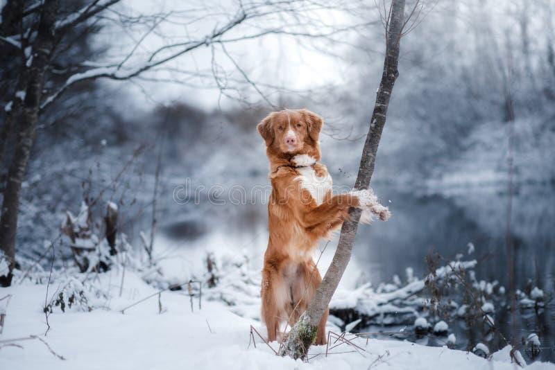 Σκυλί το χειμώνα υπαίθρια, Retriever διοδίων παπιών της Νέας Σκοτίας, στο δάσος στοκ εικόνα