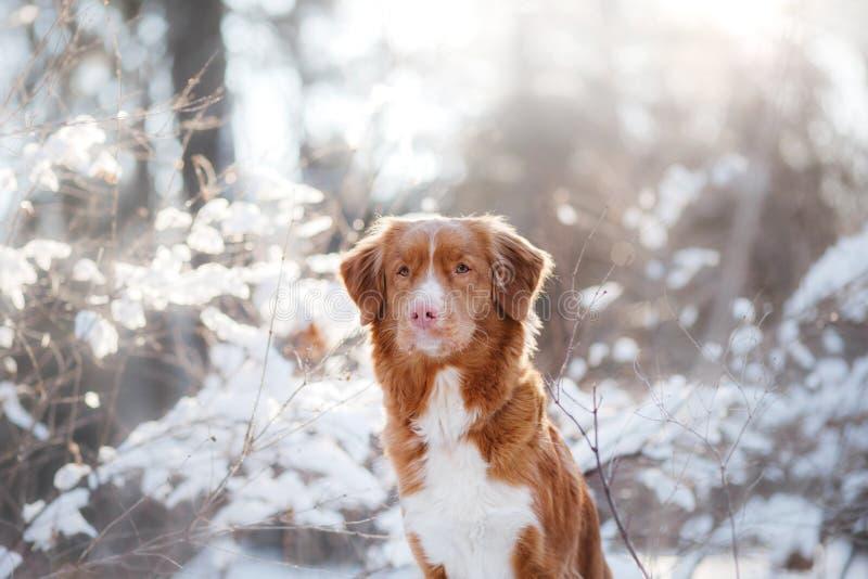 Σκυλί το χειμώνα υπαίθρια, Retriever διοδίων παπιών της Νέας Σκοτίας, στο δάσος στοκ εικόνα με δικαίωμα ελεύθερης χρήσης