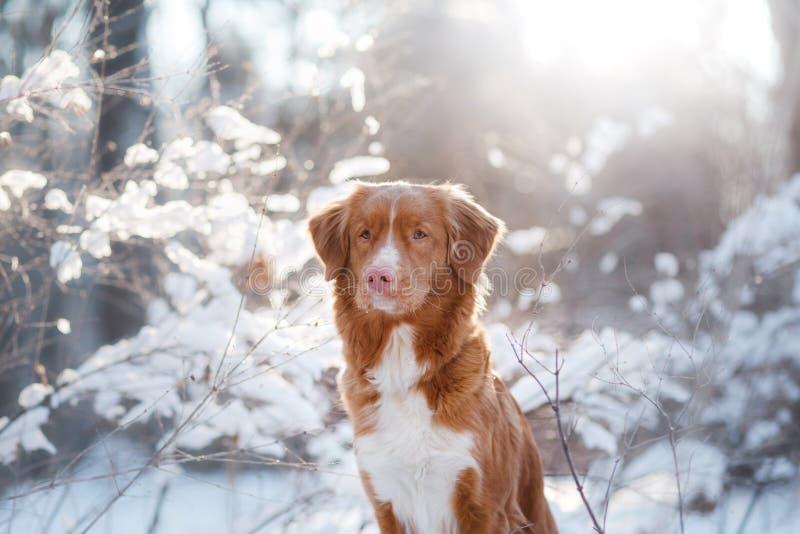 Σκυλί το χειμώνα υπαίθρια, Retriever διοδίων παπιών της Νέας Σκοτίας, στο δάσος στοκ φωτογραφία