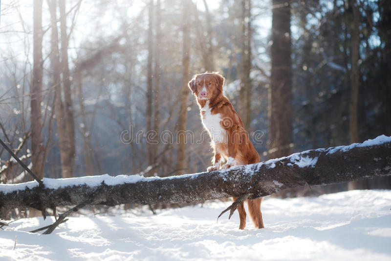 Σκυλί το χειμώνα υπαίθρια, Retriever διοδίων παπιών της Νέας Σκοτίας, στο δάσος στοκ εικόνες με δικαίωμα ελεύθερης χρήσης