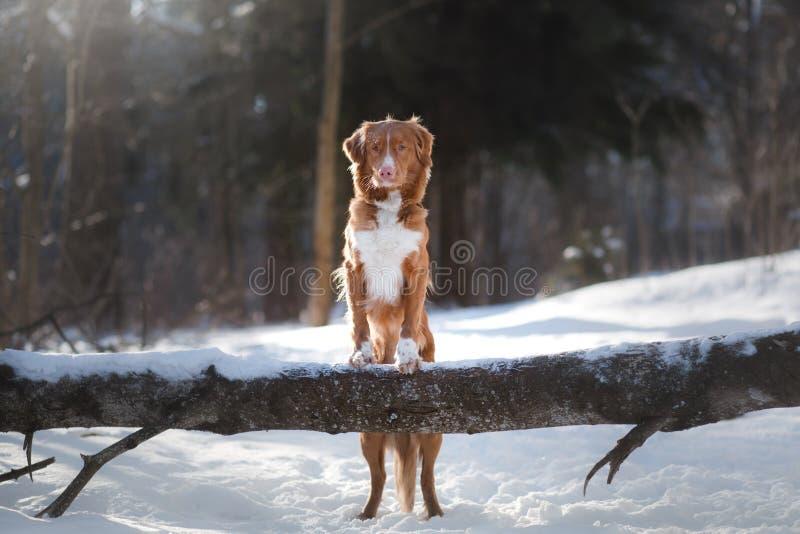 Σκυλί το χειμώνα υπαίθρια, Retriever διοδίων παπιών της Νέας Σκοτίας, στο δάσος στοκ φωτογραφίες