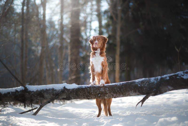 Σκυλί το χειμώνα υπαίθρια, Retriever διοδίων παπιών της Νέας Σκοτίας, στο δάσος στοκ φωτογραφίες με δικαίωμα ελεύθερης χρήσης