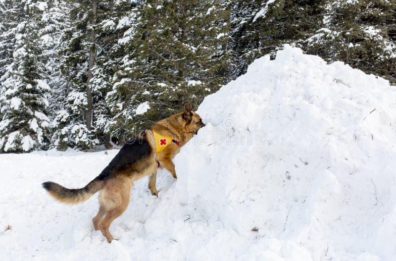 Σκυλί υπηρεσιών διάσωσης βουνών στο βουλγαρικό Ερυθρό Σταυρό κατά τη διάρκεια ενός trai στοκ φωτογραφία με δικαίωμα ελεύθερης χρήσης