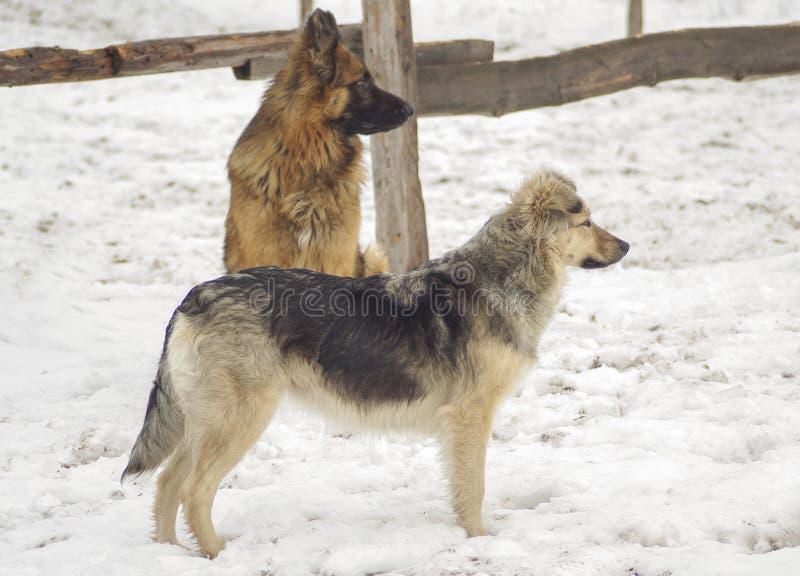 Σκυλί δύο που στέκεται στο χιόνι και που κοιτάζει στην ίδια κατεύθυνση στοκ φωτογραφία με δικαίωμα ελεύθερης χρήσης