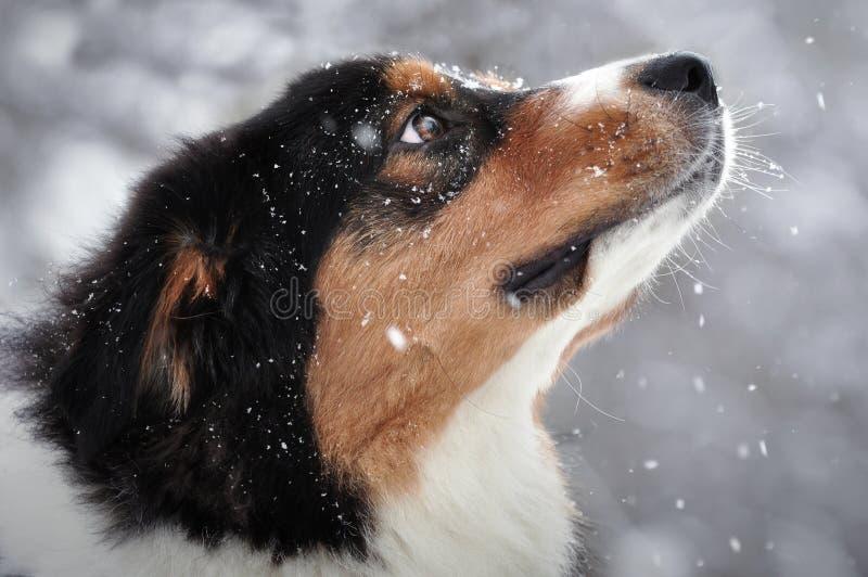 Σκυλί Aussie (αυστραλιανός ποιμένας) στο χειμώνα όταν πέφτει το χιόνι στοκ εικόνα