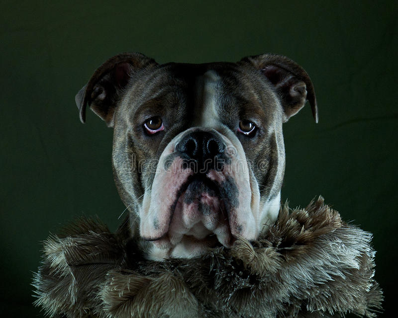 Σκυλί boa στοκ εικόνες
