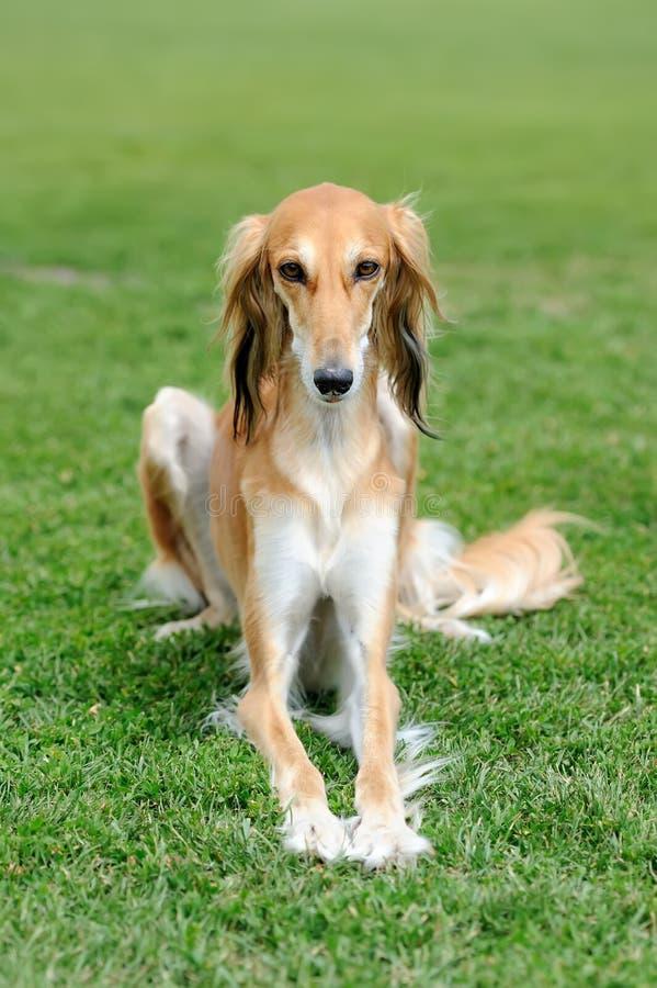 Σκυλί Borzoi στη χλόη στοκ φωτογραφία με δικαίωμα ελεύθερης χρήσης