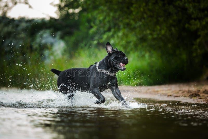 Σκυλί Corso καλάμων στη φύση στοκ φωτογραφία με δικαίωμα ελεύθερης χρήσης