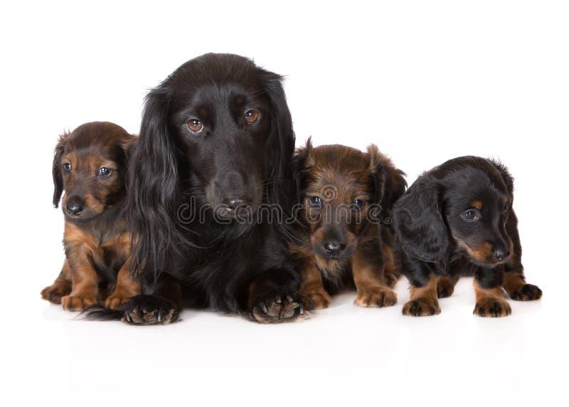 Σκυλί Dachshund με τα κουτάβια στοκ εικόνα με δικαίωμα ελεύθερης χρήσης