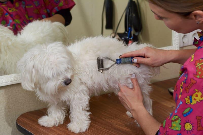 Σκυλί groomer που χρησιμοποιεί undercoat την τσουγκράνα στοκ εικόνα με δικαίωμα ελεύθερης χρήσης