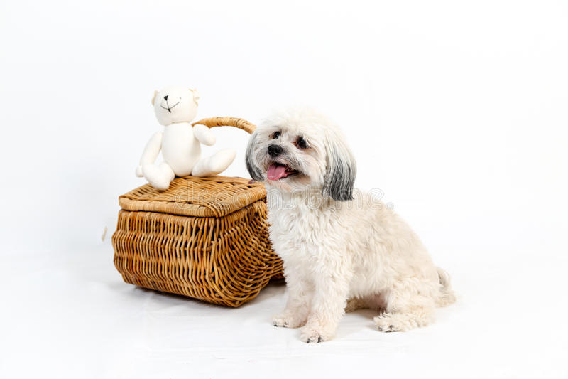 Σκυλί Havanese εκτός από το ψάθινο καλάθι στοκ φωτογραφίες με δικαίωμα ελεύθερης χρήσης