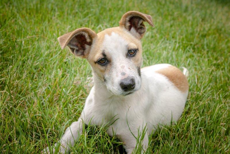 Σκυλί Homeles με το λατρευτό πρόσωπο, χαριτωμένο κουτάβι, ανησυχία στα μάτια στοκ εικόνες με δικαίωμα ελεύθερης χρήσης