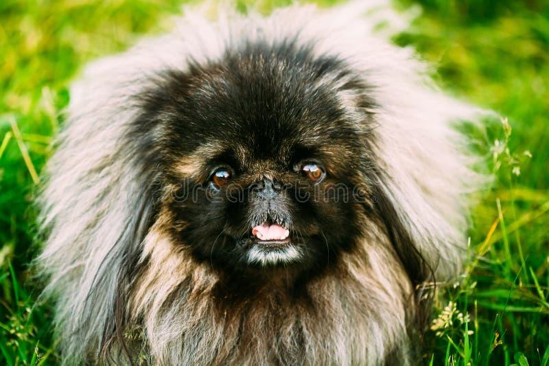 Σκυλί Pekinese Peke Pekingese που στηρίζεται στη χλόη στοκ φωτογραφίες