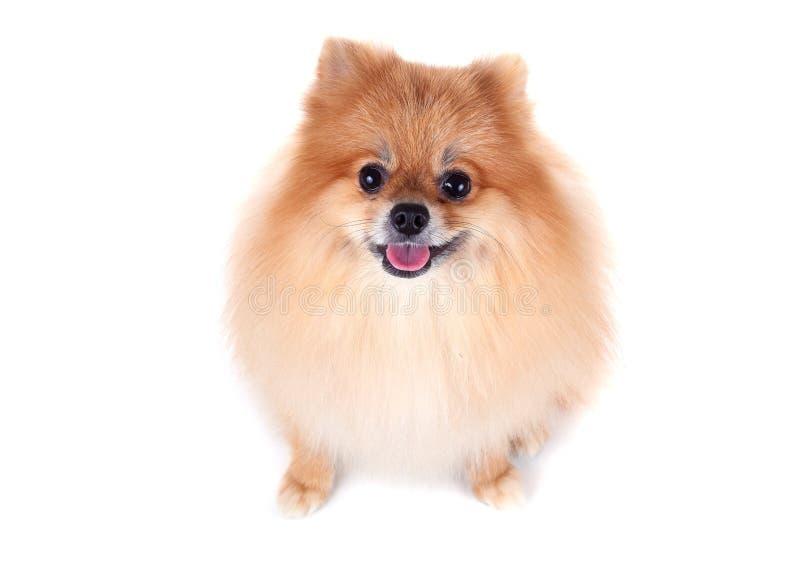 Σκυλί Pomeranian στο άσπρο υπόβαθρο στοκ φωτογραφίες με δικαίωμα ελεύθερης χρήσης