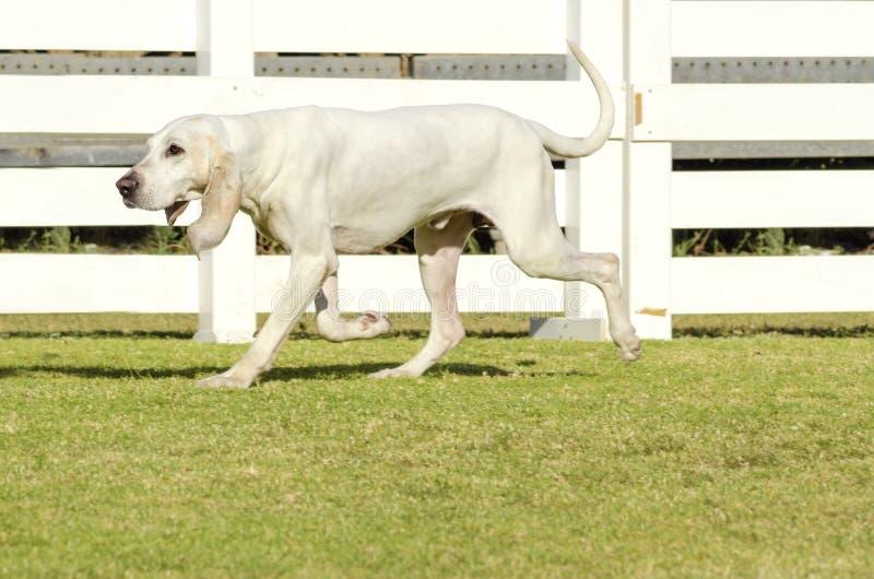Σκυλί Porcelaine στοκ φωτογραφίες με δικαίωμα ελεύθερης χρήσης