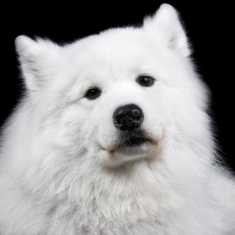 Σκυλί Samoyed στο Μαύρο στοκ φωτογραφίες
