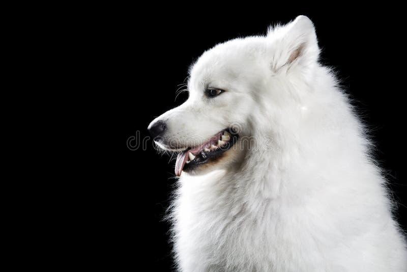 Σκυλί Samoyed στο Μαύρο στοκ εικόνες με δικαίωμα ελεύθερης χρήσης