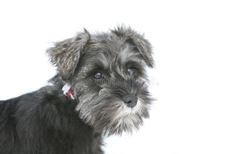 Σκυλί Schnauzer κουταβιών στοκ εικόνες με δικαίωμα ελεύθερης χρήσης