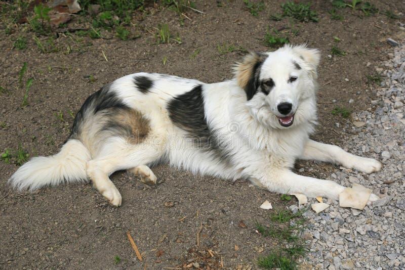 Σκυλί Tornjak στοκ εικόνες