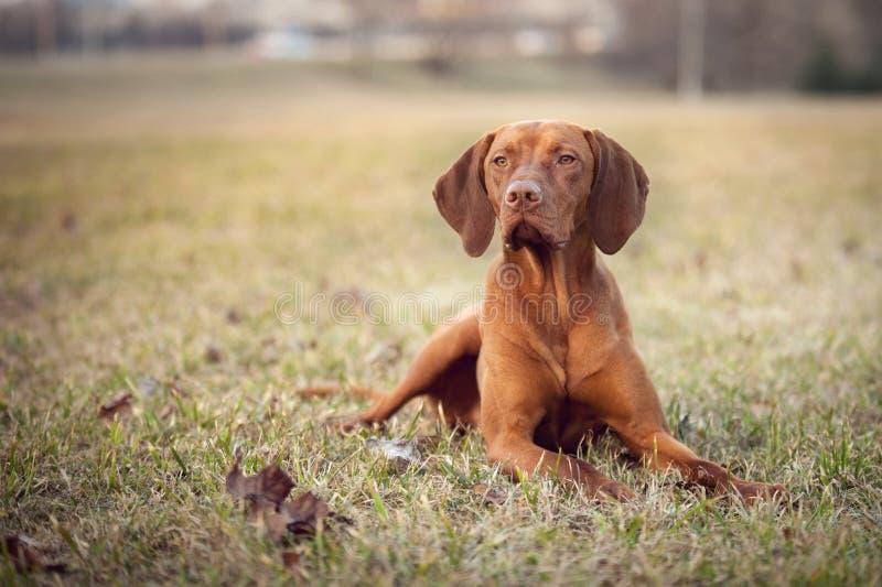 Σκυλί Vizsla που βρίσκεται στη χλόη στοκ φωτογραφία με δικαίωμα ελεύθερης χρήσης