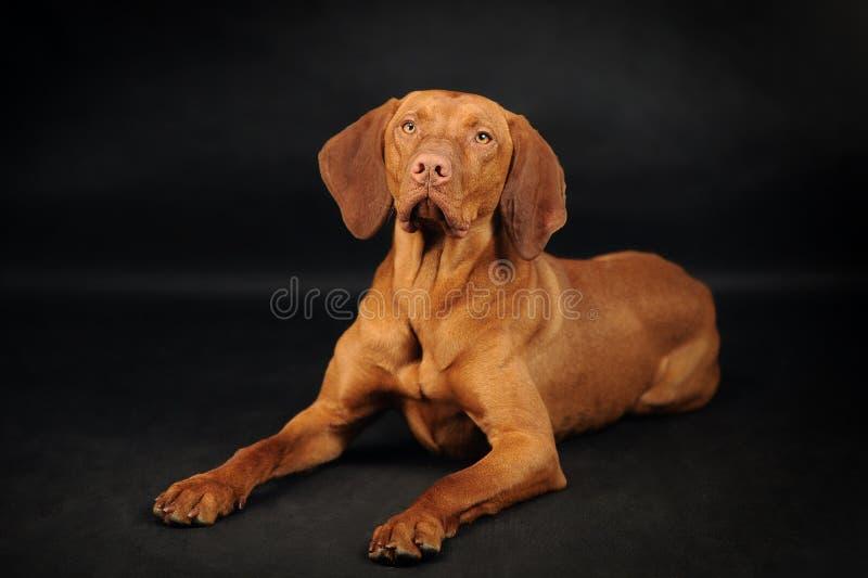 Σκυλί Vyzhla που βρίσκεται στο μαύρο υπόβαθρο στοκ φωτογραφία με δικαίωμα ελεύθερης χρήσης