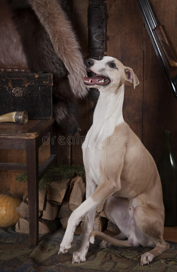 Σκυλί Whippet με τα εξαρτήματα κυνηγιού στοκ φωτογραφία