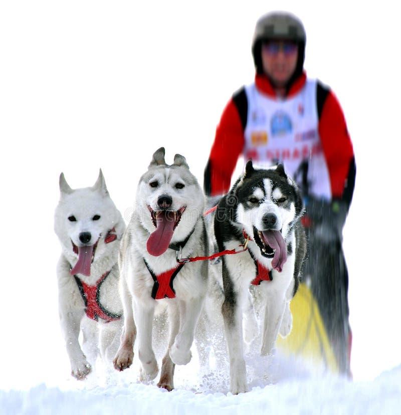 Σκυλιά ελκήθρων στον αγώνα ταχύτητας στοκ εικόνες