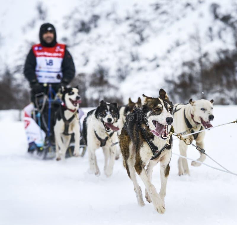 Σκυλιά ελκήθρων στον αγώνα ταχύτητας στοκ φωτογραφίες με δικαίωμα ελεύθερης χρήσης