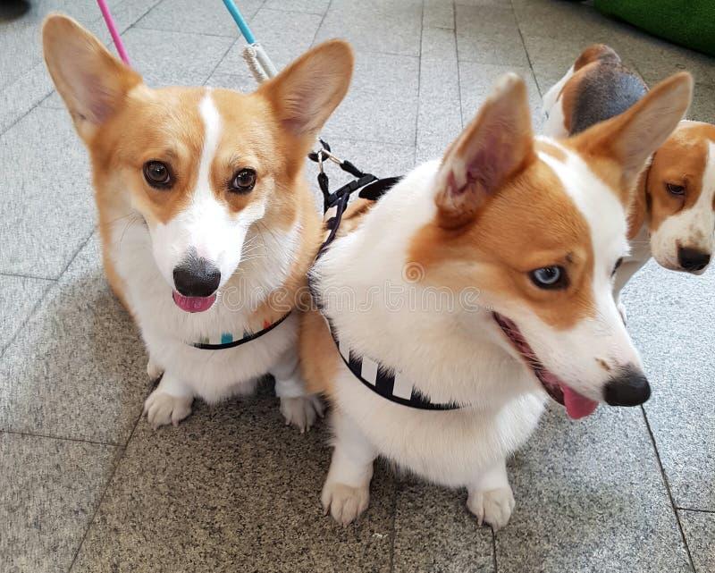 Σκυλιά διδύμων στοκ φωτογραφίες