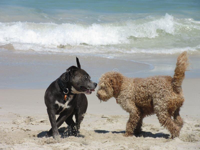 Σκυλιά κοινωνικά στην παραλία στοκ εικόνες