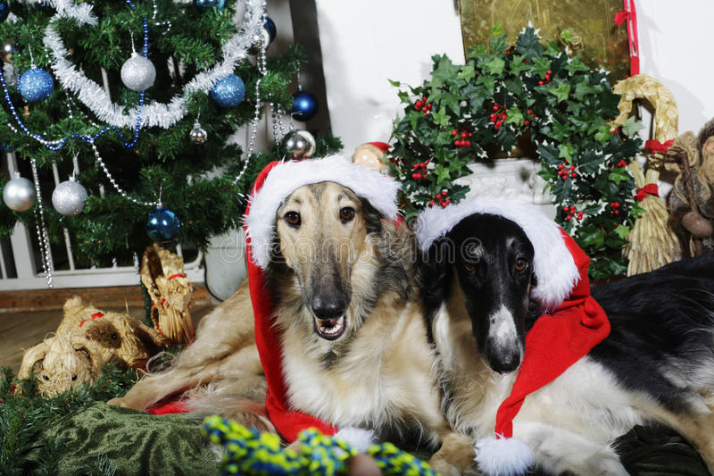 Σκυλιά με τους χαιρετισμούς Χριστουγέννων στοκ φωτογραφία