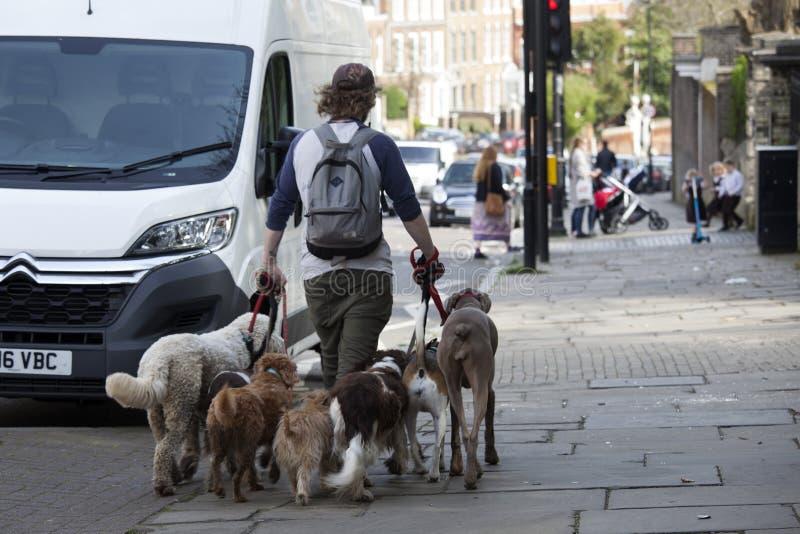 Σκυλιά περπατήματος ατόμων στα λουριά στοκ φωτογραφίες