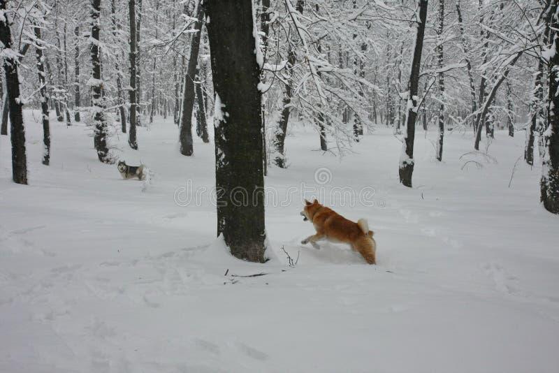 Σκυλιά που παίζουν στο χιόνι στοκ εικόνες