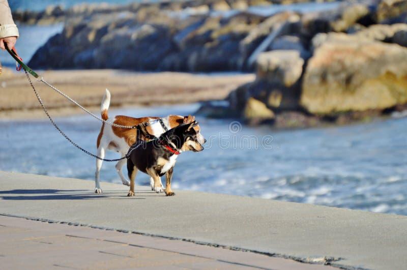 Σκυλιά που περπατούν από την παραλία στοκ εικόνα
