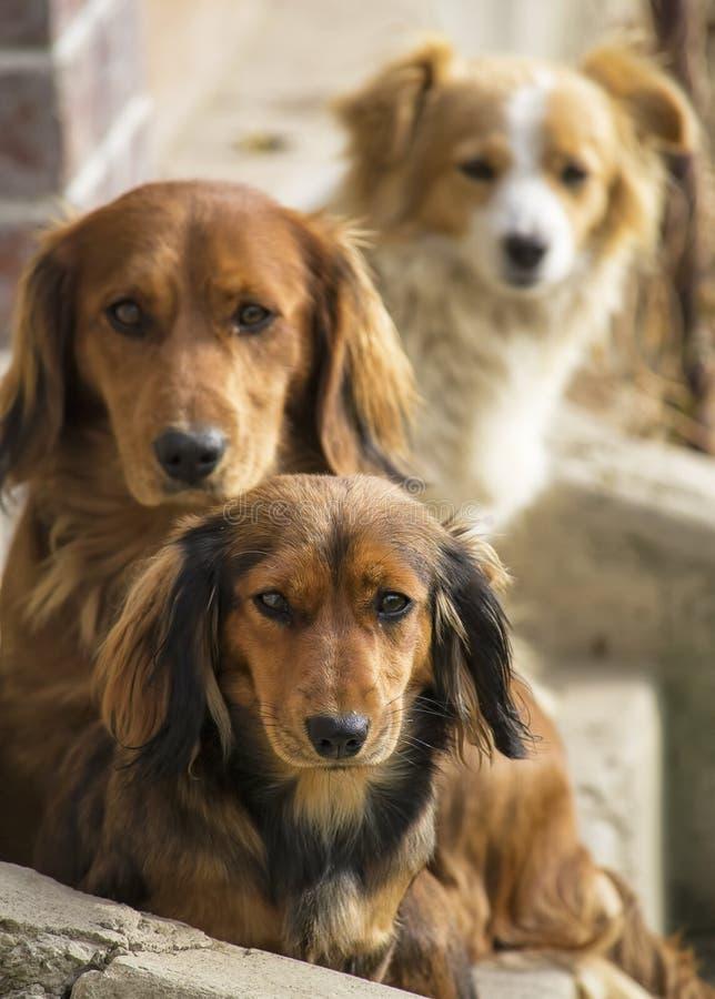 σκυλιά τρία στοκ εικόνα με δικαίωμα ελεύθερης χρήσης