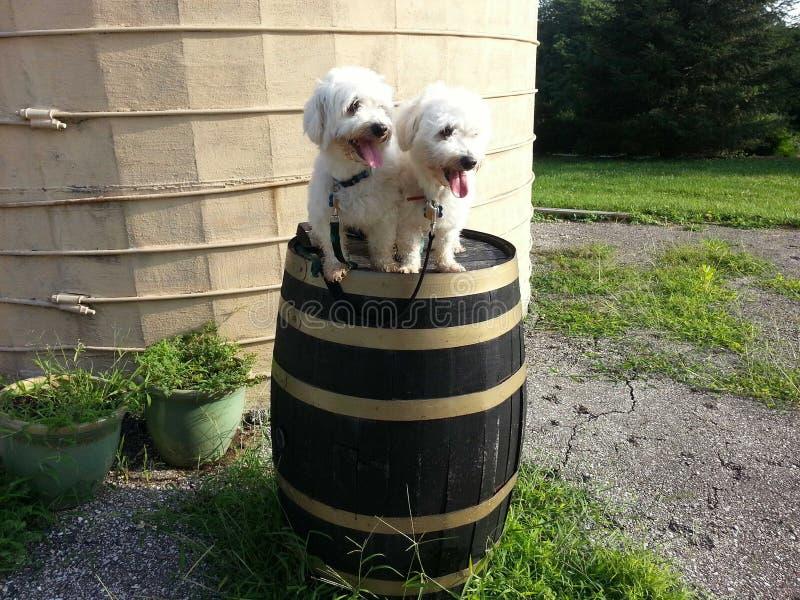 σκυλιά δύο στοκ φωτογραφία