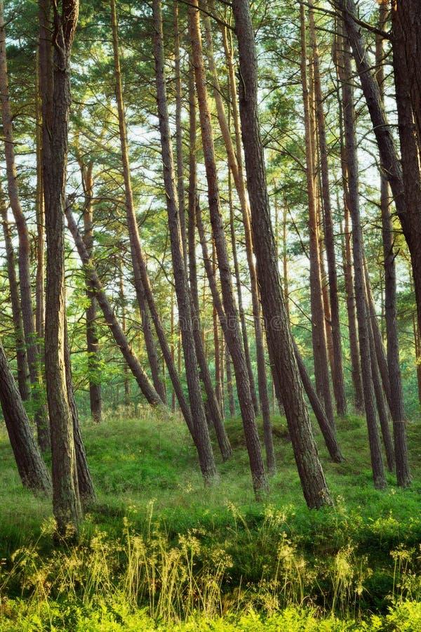 Σκωτσέζικα ή σκωτσέζικα δέντρα sylvestris πεύκων πεύκων στο κωνοφόρο δάσος στοκ φωτογραφίες