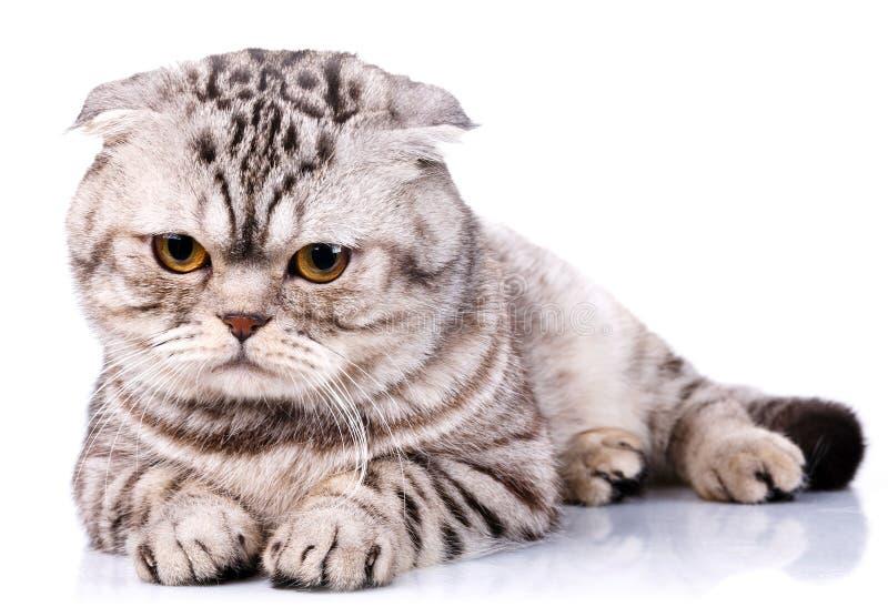 Σκωτσέζικα δίχρωμα λωρίδες γατών πτυχών στο άσπρο υπόβαθρο στοκ φωτογραφίες