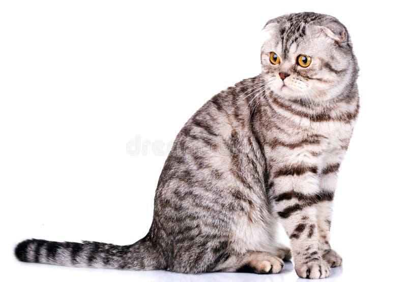 Σκωτσέζικα δίχρωμα λωρίδες γατών πτυχών στο άσπρο υπόβαθρο στοκ φωτογραφία