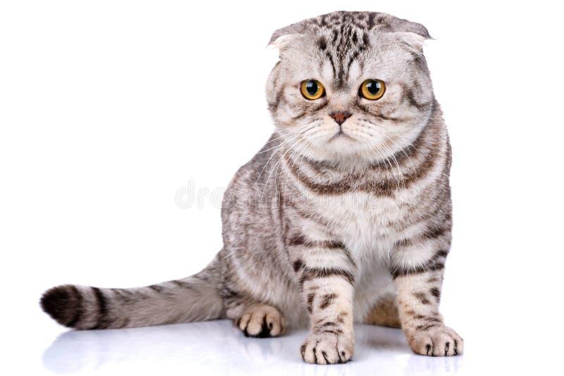 Σκωτσέζικα δίχρωμα λωρίδες γατών πτυχών στο άσπρο υπόβαθρο στοκ εικόνα με δικαίωμα ελεύθερης χρήσης