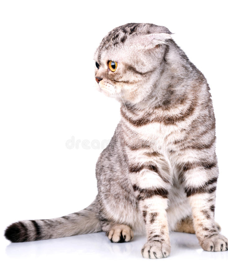 Σκωτσέζικα δίχρωμα λωρίδες γατών πτυχών στο άσπρο υπόβαθρο στοκ εικόνες
