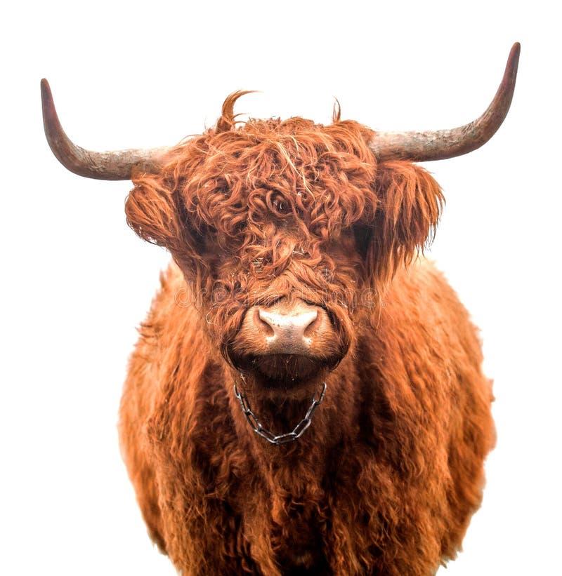 Σκωτσέζικα βοοειδή ορεινών περιοχών που απομονώνονται στοκ φωτογραφία με δικαίωμα ελεύθερης χρήσης